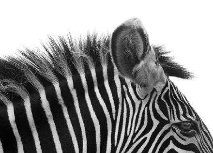 Gorgeous zebra black & white wall mural